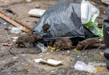 Government Cuts could lead to a surge in rat infestations!
