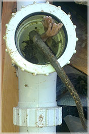 Rat in Toilet Pipe